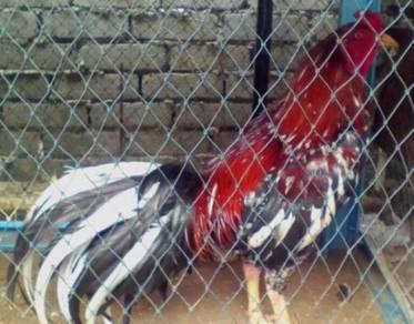 Ayam baka baik