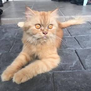 Kucing manja betina parsi