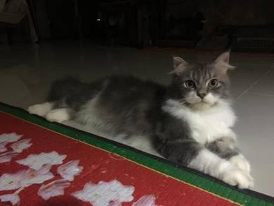 Indoor Cat male