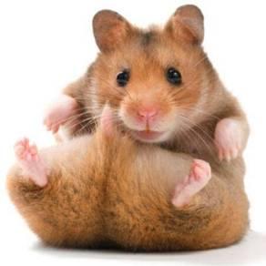Hamster untuk saya beli