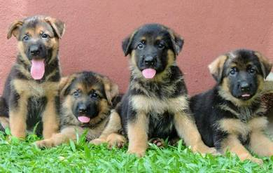 GSD puppies with MKA cert