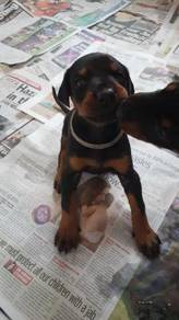Male and Female Doberman puppies