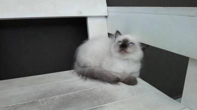 DLH color point female Kitten