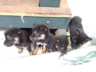 Puppy untuk dijual.