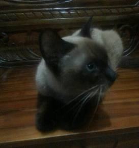 Kucing / cat siam pure breed