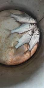 Ikan tenggalan, tingkalan