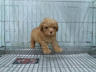 Tiny Poodle Male Puppy