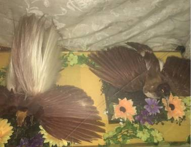 Burung cenderawasih phoenix