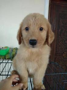 Golden Rretriever Puppies