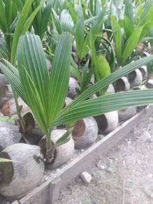 Benih kelapa Pandan
