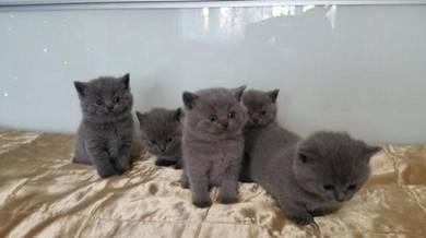 Gccf Registered British Short hair Kitten