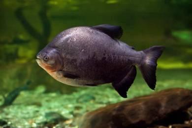 Pacu Fish / Ikan