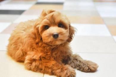 Adorable Maltese mix Poodle puppies