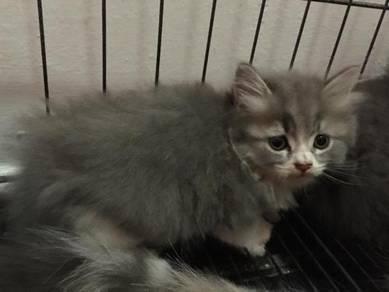 Kitten persian mix scottish