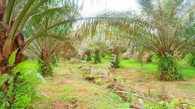 Roadside Freehold Oil Palm Plantation For Sale At Teluk Intan