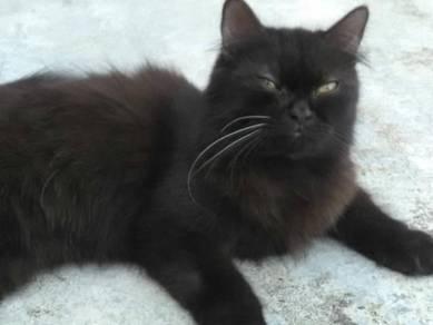Cat kucing munchkin cross mainecoon
