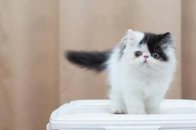 Persian Flatface Kitten Black White Ma1e