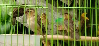 Burung cak rayo or tempua