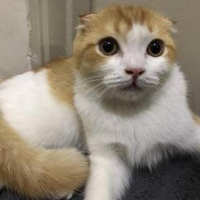 Kucing Scottish fold British