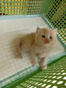 Cute non std munchkin cross persian