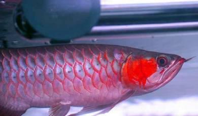 Blood red arowana 3a quality 13 inch
