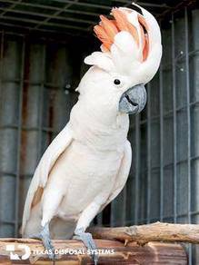 Burung mollucan cockatoo