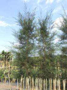 Casuarina Equisetifolia (Ru Pantai)