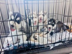 Crate trained siberian husky puppies