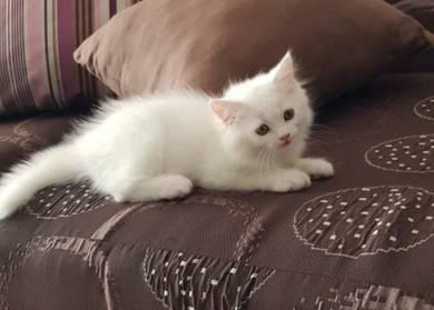 Mix persian kitten