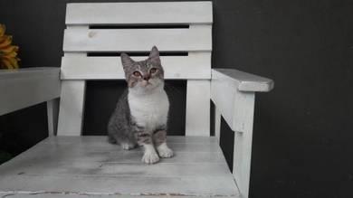Shorthair kitten