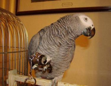 Home trained african grey parrots