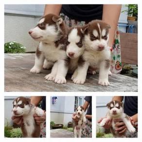 Cute siberian puppies