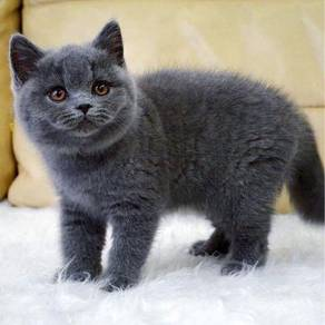 British shorthair kitten bsh