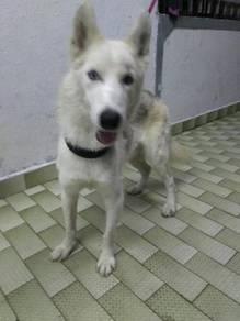 Siberian husky for sale .