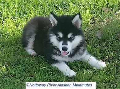 Dewormed Alaskan malamute