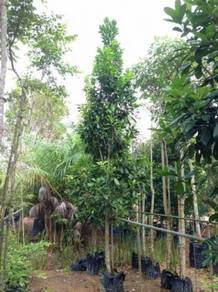 Buchanania Arborescens (Otak Udang)