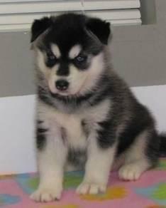 Adorable siberian husky pups