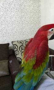 Silly tame macaws paarrots