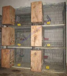 Hand reared african grey parrots