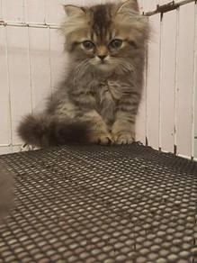 Kitten jantan dan betina