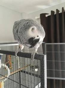 Super tame african grey parrots