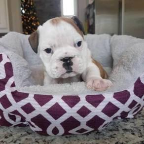 Beautiful baby English Bulldog Puppies Kc Reg
