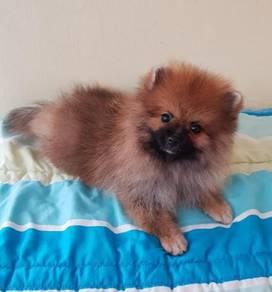 Pomeranian Puppy with MKA