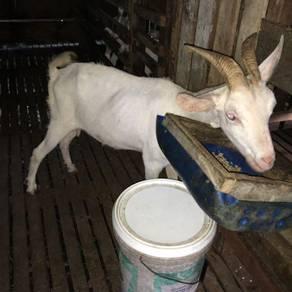 Kambing susu saenen spasg