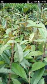 Anak pokok durian udang merah D175