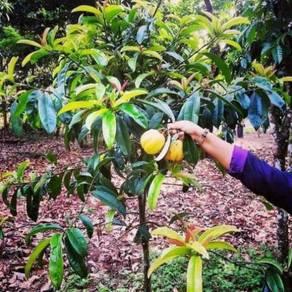 Anak pokok Assam gelugor