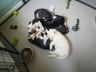 Beautiful Siberian husky puppies