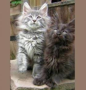 Maine coon kittens ready for sale