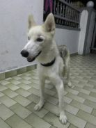 5Months husky for sale .male .