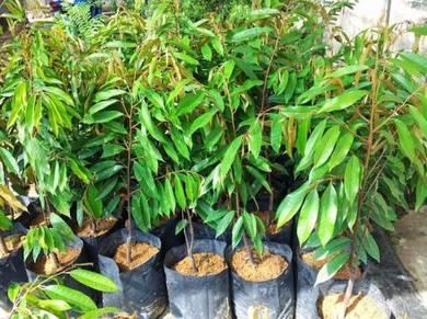 Anak pokok Durian Hybrid